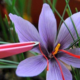 Een foto van een saffraan stempel